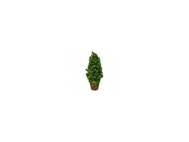 Boxwood Plant Potted