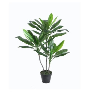 Cordyline Fruticosa In Pot - 100cm