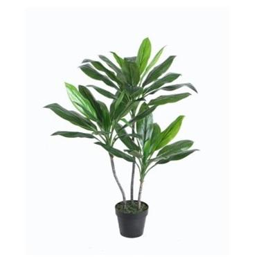 Cordyline Fruticosa In Pot - 100cm