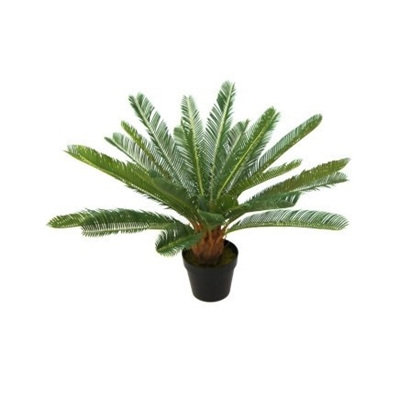 Cycad in Black Pot - 70cm