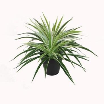 Dracaena W/Pot - 30cm