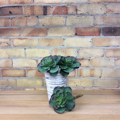 Echeveria Pick 28cm Large