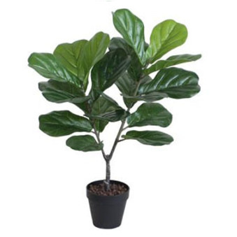 Fiddle Leaf Fig W/Black Plastic Pot - 75cm