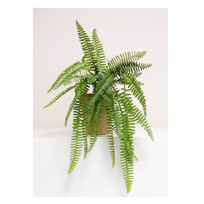 Hanging Ladder Fern