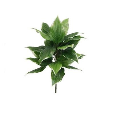 Hosta Plant - 60cm