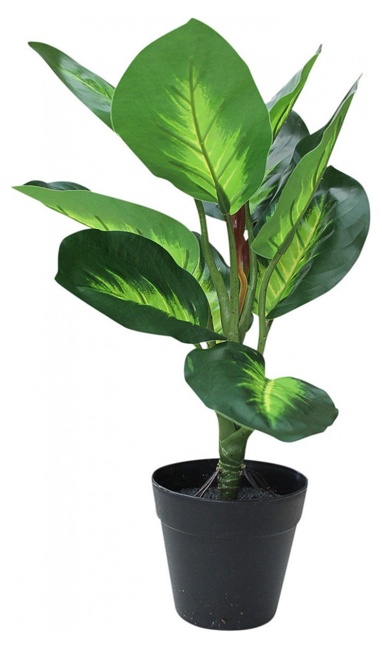 Plant - Canna Small Potted