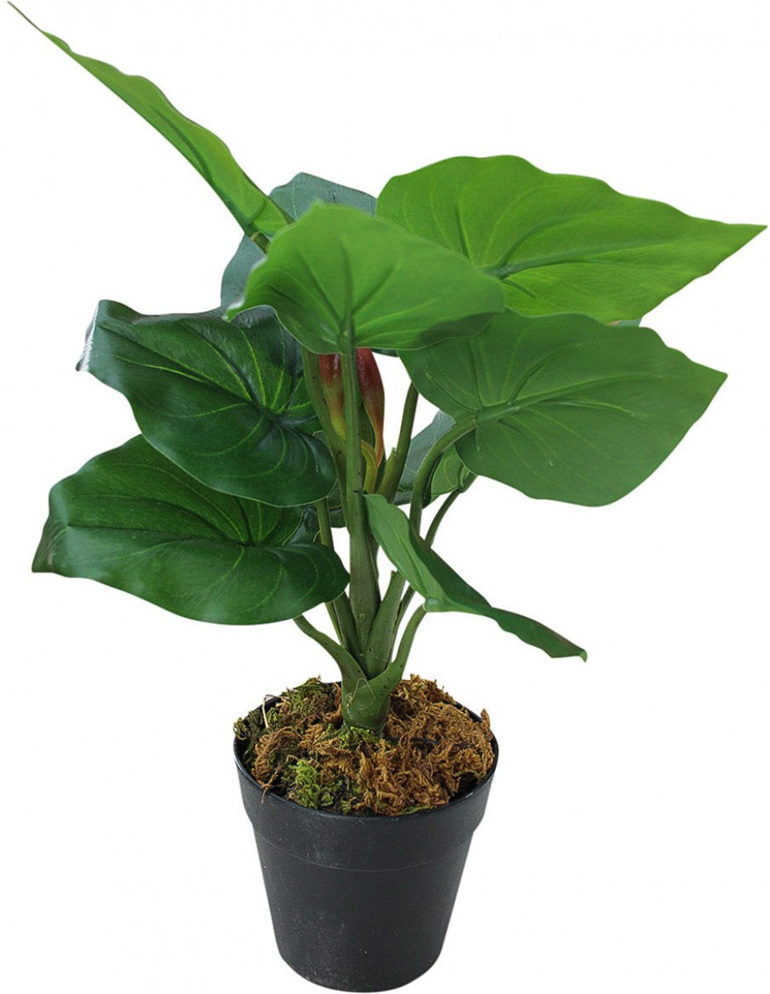 Plant - Tropicana Small Potted
