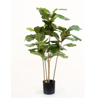 Potted Fiddle Tree - 90cm
