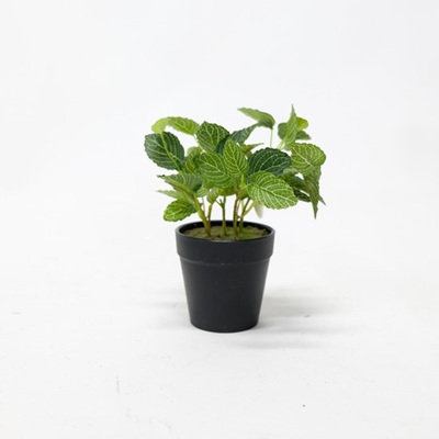 Potted Fittonia - 23cmh