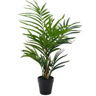 Potted Robellini Palm - 50cmh