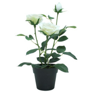 Potted Rose Bush 3stem - Cream
