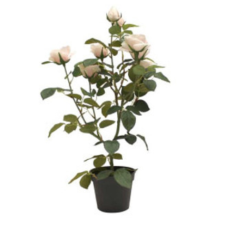 Potted Rose Bush - Blush