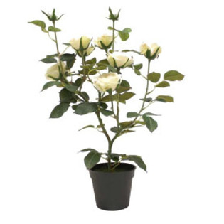 Potted Rose Bush - Cream