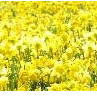 PROPOSE IN A FIELD OF DAFFODILS