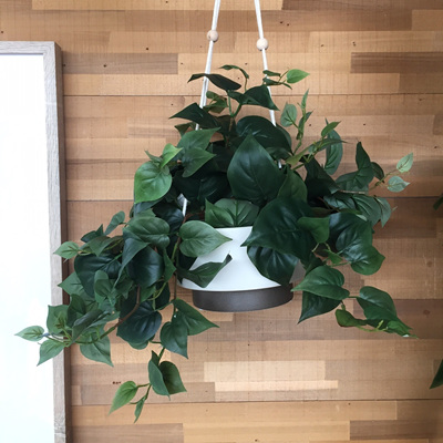 Puff Philo Hanging Bush 50cm