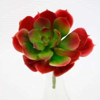Red Edge Echeveria - Green & Red - 15cm