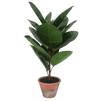 Rubber Tree W/ Decorative Pot - 63cmh